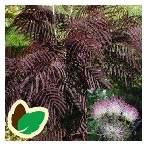 Albizia julibrissin Summer Chocolate / Persisk Silketræ