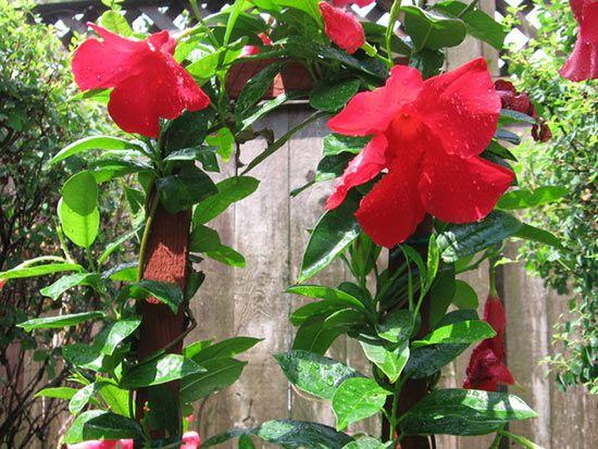 Mandevilla mexicana. Источник: respublica.typepad.com