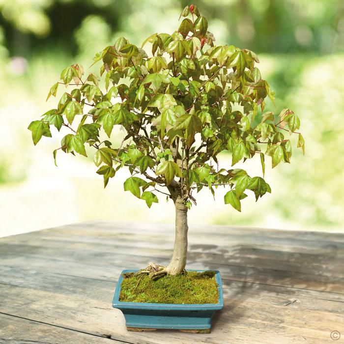 http://www.tuinflora.com/index.php?/Bonsai-Bomen/Bonsai-Trident-Maple-1-boom