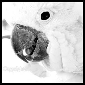 Google Image Result for http://www.distantsunartwork.com/Birds/tropical/cockatoo.blackandwhite.abstract.photo.6672.jpg