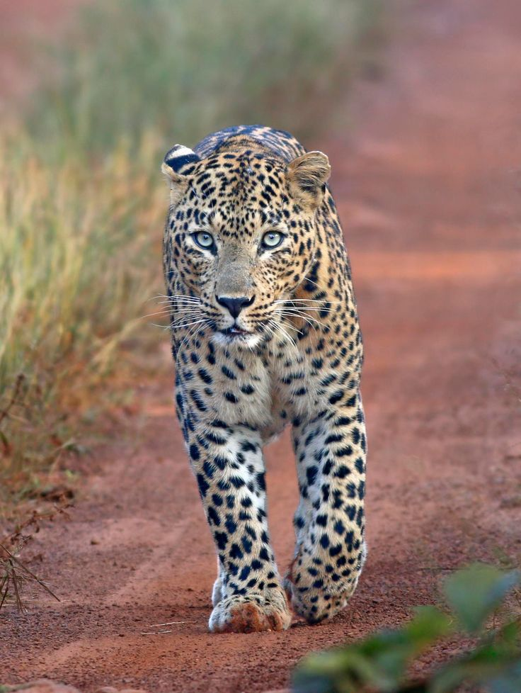 Leopard at Tadoba