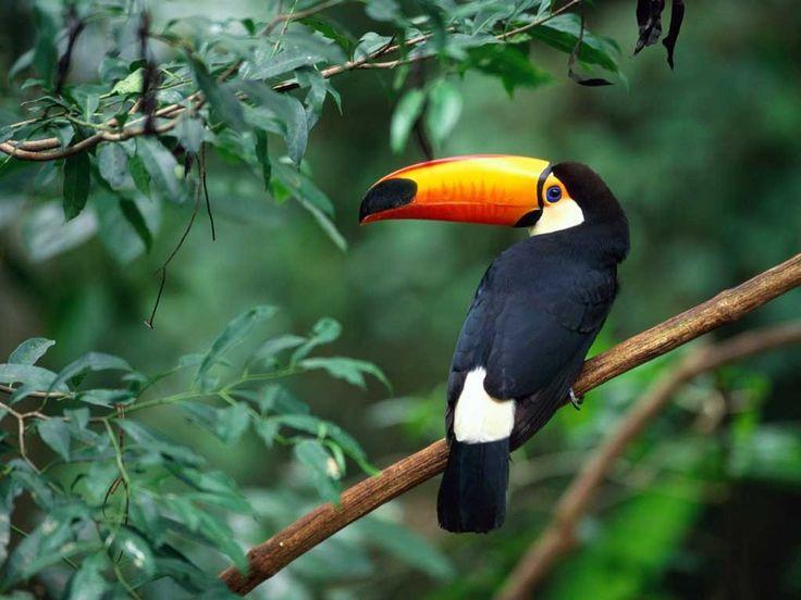 toucan  #bird