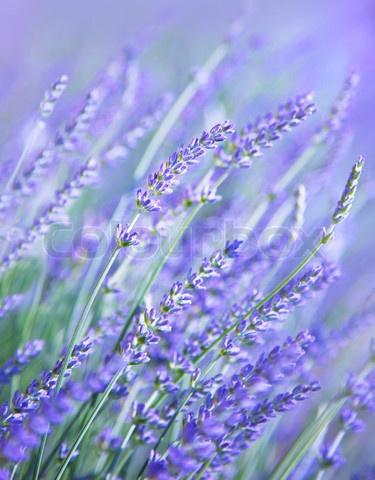 2371912-561129-lavendel-blomst-felt-frisk-lilla-aromatiske-wildflower-naturlige-baggrund-makro-med-bloed-fokus.jpg (375×480)