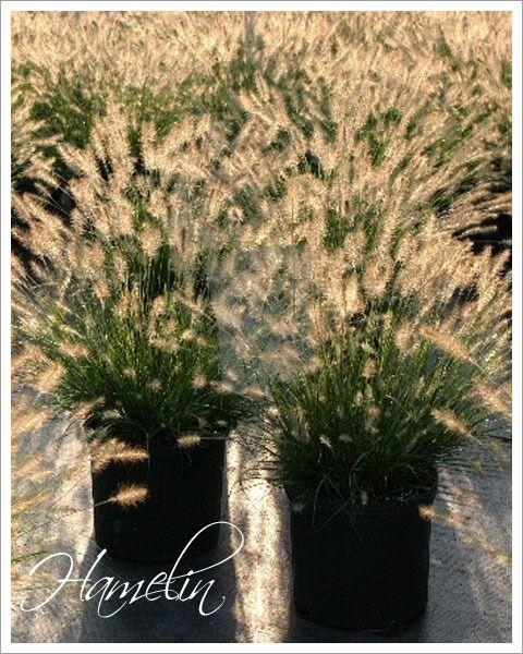 2546 Rozplenica japońska 'Hameln'  kłosy kwiatowe przypominające lisie ogony, które ukazują się latem i jesienią  preferuje stanowiska słoneczne i żyzne, przepuszczalne gleby.