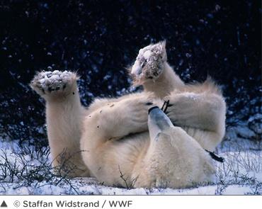 L'ours polaire est un des symboles du Grand Nord canadien