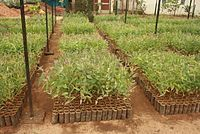 Vegetative reproduction. Cutting, layering, dividing, budding, grafting and tissue culture.