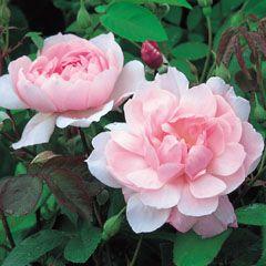 Mortimer Sackler English Roses (English Rose Collection) Bred By David Austin Color Soft Pink