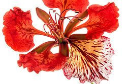 Royal Poinciana Tree Delonix Regia #43