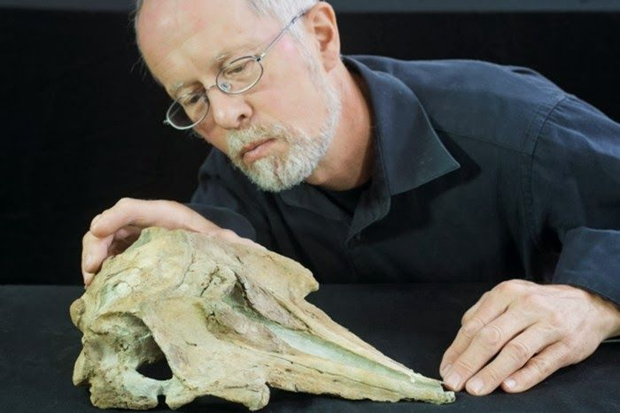 Professor Ewan Fordyce, from Otago University's Department of Geology, observes the newly-discovered fossilised skull of Papahi taihapu, an ancient relative to modern dolphins [Credit: New Zealand Herald] The newly recognised fossil dolphin from New Zealand, dubbed Papahu taitapu, is the first of its kind ever found and may be a close relation to the ancestors of modern dolphins and toothed whales, according to University of Otago researchers.