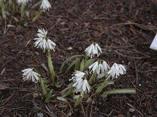 Heloniopsis Species - MyGardenGates