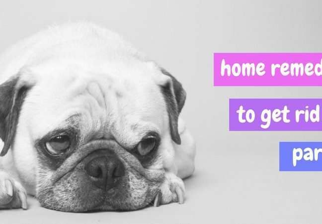 How To Get Rid Of The Parvovirus In Your Home