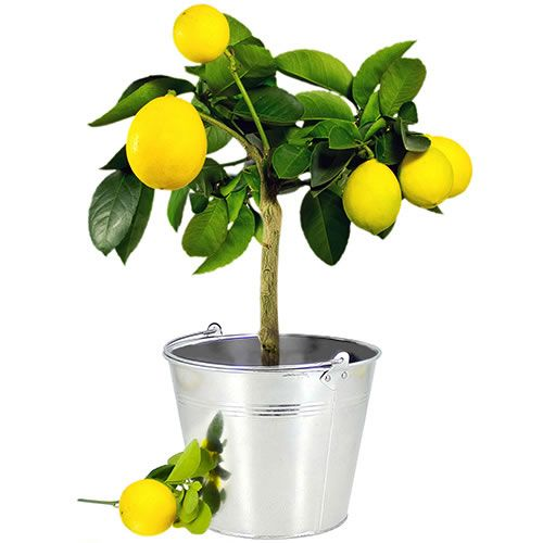 Ce joli arbuste vous parlera vacances et douceur de vivre. Petit arbre des régions méditerranéennes le citronnier n'est pas une plante d'intérieur et ne pourra pas survivre dans une pièce chauffée toute l'année, un peu de fraîcheur d'octobre à mai lui est indispensable. Toutefois la culture en pot est tout à fait adaptée car elle permet de rentrer le citronnier dans un espace non chauffé, lumineux et à l'abri du gel durant l'hiver.