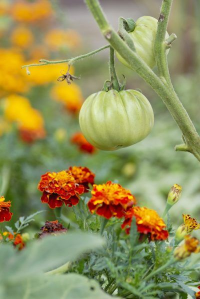 Marigold And Tomato Companion Planting: Do Marigolds And Tomatoes Grow Well Together -  Marigolds are appreciated for much more than their beauty; marigold and tomato companion planting is a tried and true technique used by gardeners for hundreds of years. What are the benefits of growing these together? Click here to find out.