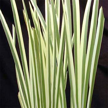 Texasgress, Ohpiopogon jaburan 'Variegatus' Liliaceae Liljefamilien, SNITT