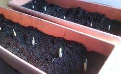 piantare aglio
