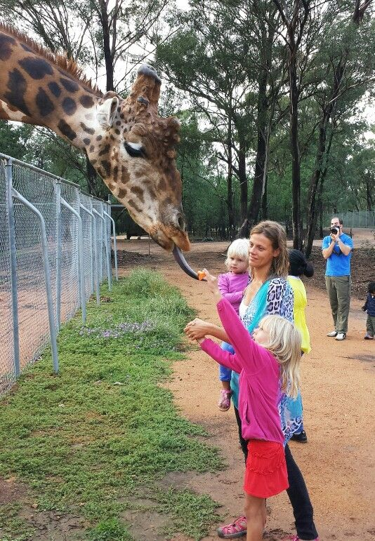 Look at that tongue...kids were excited to feed carrots to the Giraffes this morning at Dubbo Zoo - NSW, Australia