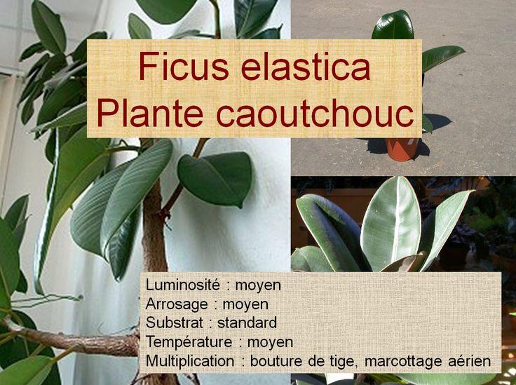 Ficus elastica Plante caoutchouc