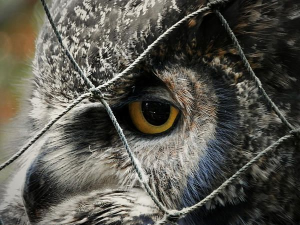 """Feeling Blue by Zinvolle - This is a great horned owl in Salmonier Nature Park, Newfoundland. He is very friendly and enjoys having visitors. I almost feel like he is lonely here, and whenever someone comes, he tries to get closer and keeps looking - it makes me feel """"guilty"""" to leave him.."""