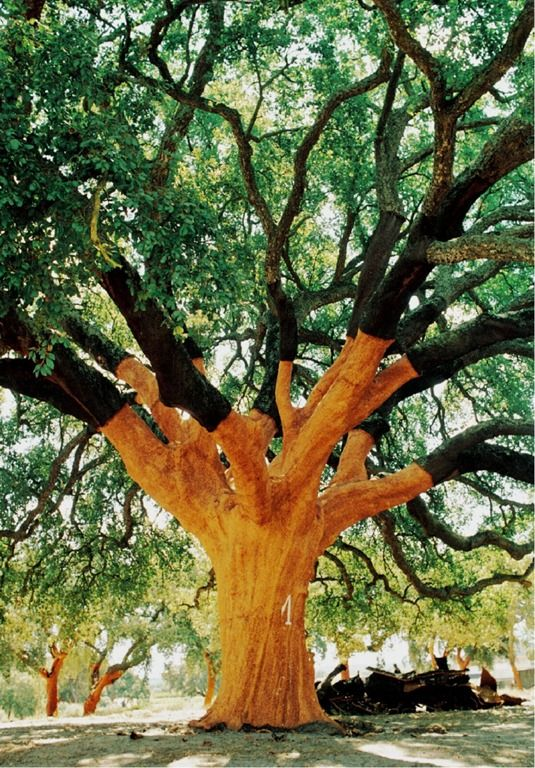 The world's largest cork tree, Alentejo - Portugal. 230+ years old, producing corks since 1820. It was 5 years old when the first English settlers arrived in Australia, and 6 years old when the French Revolution began in 1789. 1789 bottles of wine sealed with cork in that same year were fairly recently discovered in a French cellar, and both the wines and corks in good condition. Every nine years producing 1T of bark, enough cork for 100,000 wine bottles, weights 102T.