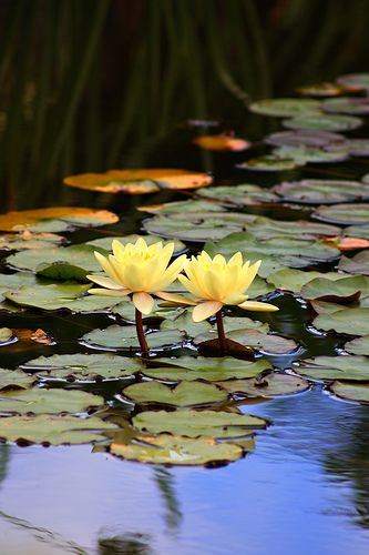 https://flic.kr/p/4sGoe3 | Two of a kind | Water lillies in a pond at Rookwood Cemetary.