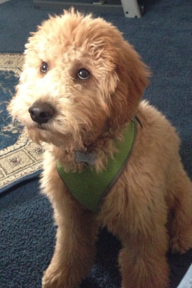Dogs That Look Like Goldendoodles