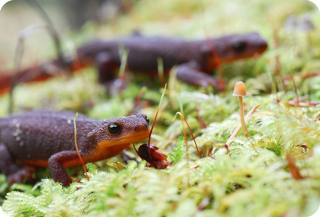 N American Salamander 17 Best images about N...