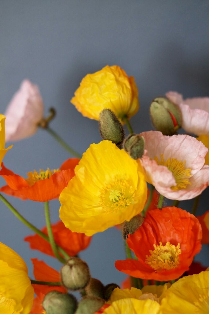 Poppies popping with brightness.