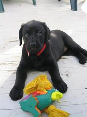 How to stop sweep pups like this from chewing on EVERYTHING... step by step options.