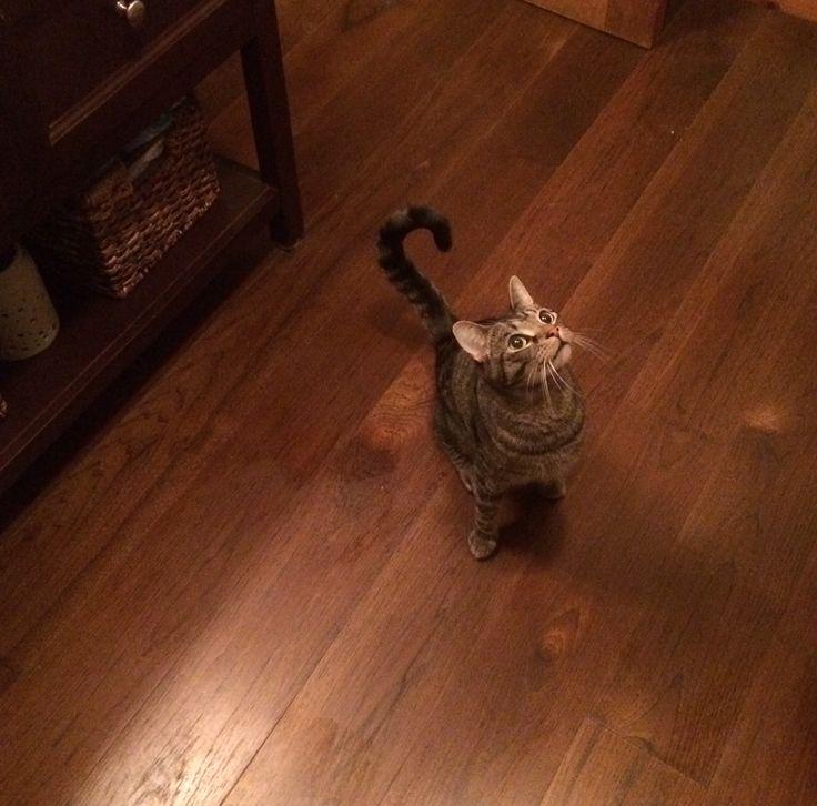 Pretty kitty and pretty Carlisle hickory floors.