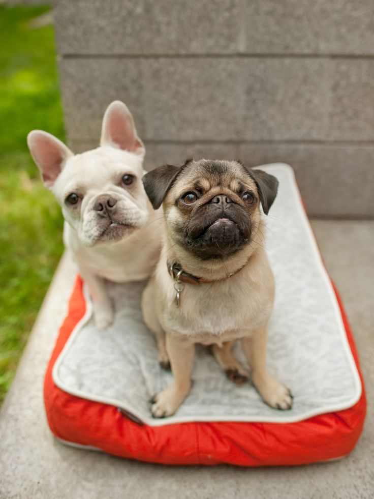 French Bulldog and Pug, perfect pair...one day!: Best Friends, Cute Pugs Puppies, French Bulldogs Puppies, Pet Beds, Black French Bulldogs, Products, French Bulldogs Pugs, Animal, Pugs And French Bulldogs