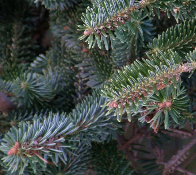12 Species of Fir Trees: Silver Fir