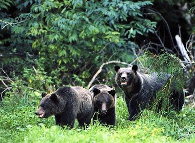 Grizzly Bear Viewing Tours in British Columbia. Bella Coola BC Grizzly Bear Tours, Great Bear Rainforest