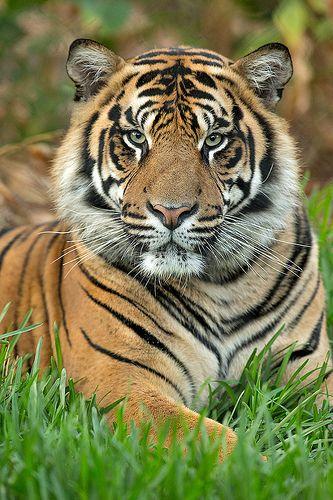 Tiger - Thomas_25Q7945 | Flickr - Photo Sharing!