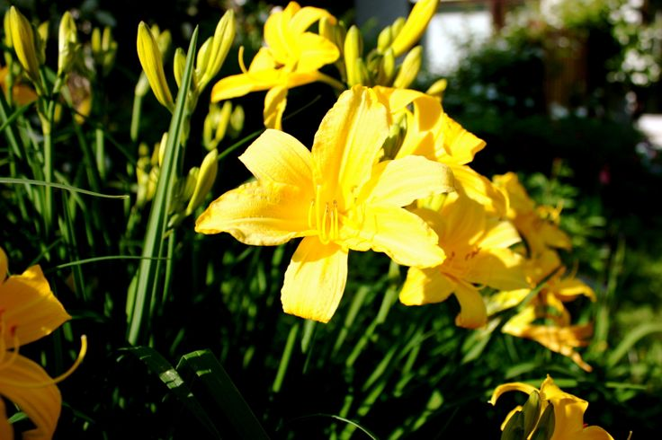 Keltapäivänlilja - Hemerocallis lilioasphodelus