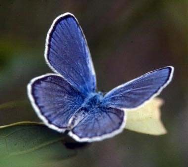 The Karner Blue (Lycaeides melissa, subspecies samuelis) was designated as the official state butterfly of New Hampshire in 1992.  Also called the melissa blue, the karner blue butterfly is found in small isolated colonies in New Hampshire and elsewhere (NatureServe Conservation status: imperiled).