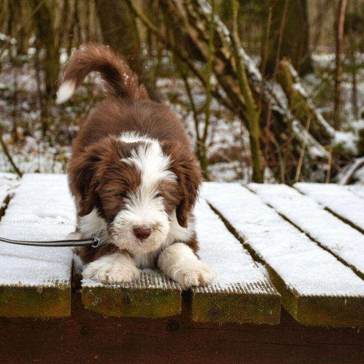 Bearded collie puppy Sammy