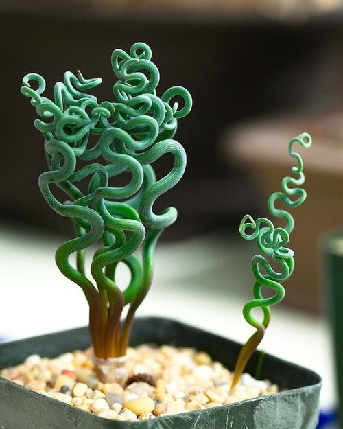 Tachyandria sp. growing squiggles (a succulent from south africa.)