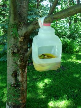 25 best ideas about apple tree care on pinterest apple plant apple tree pruning and planting - Practical uses for the apple peels ...