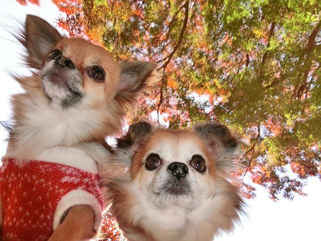 ✨ 紅葉がステキわん✨ #かわいい#可愛い#わんこ #犬#空ちゃん#うさちゃん#空ちゃんうさちゃん #チワワ#愛犬 #犬ファッション#犬服#mydogiscutest #ilovemychihuahua #chihuahualife #ilovechihuahua #lifewithdogs #chihuahualovers #chihuahuaaddict #cutestdogever #chihuahuaoftheday #chihuahualove #ilovemydogs #chihuahuafanatics #dogs_of_world #chihuahuasofinstagram