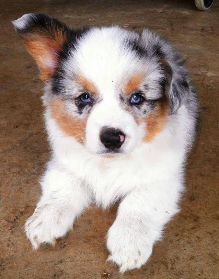 Blue Merle Corgi .... absolutely adorable!! <3