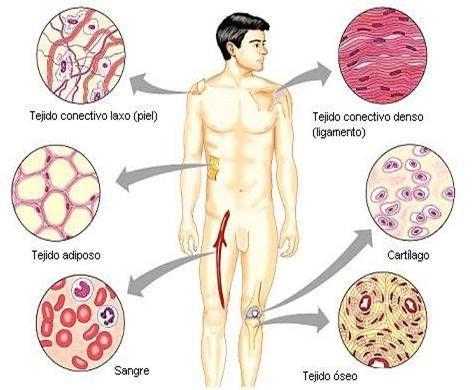 Esquema anatómico del tejido conjuntivo