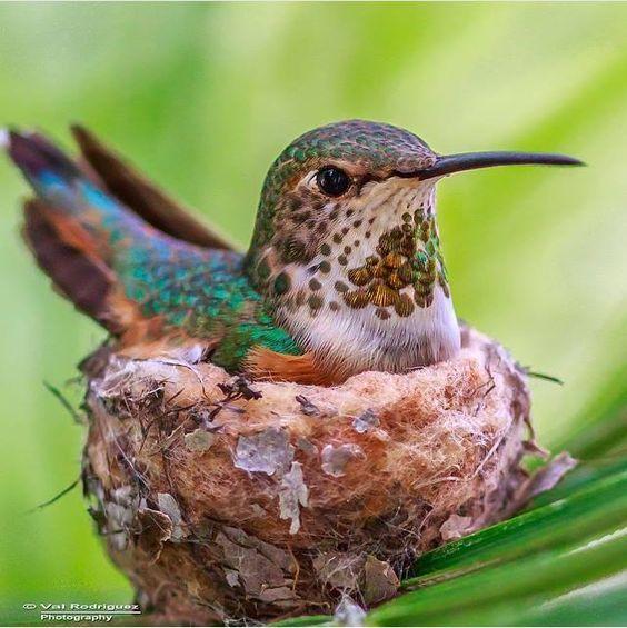 Best Hummers Images On Pinterest Hummingbirds Beautiful - Photographer captures amazing close up photos of hummingbirds iridescent feathers
