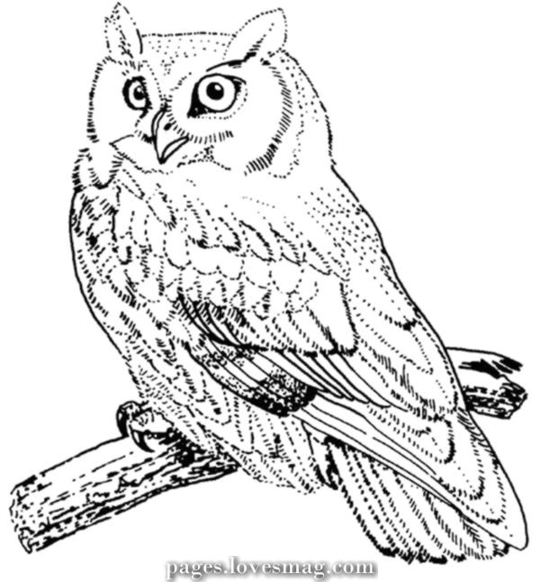 Coloring Pages Owl Bird Coloring Pages