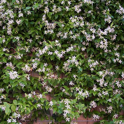 Star Jasmine, evergreen produces waves of gorgeous pure-white star-like flowers across summer, each one with simply stunning fragrance! Evergreen and winter hardy, it will add year-round interest to your garden as the foliage changes from a rich purple in winter to a deep-green in spring and summer.