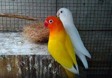 Membedakan Lovebird Jantan dan Betina –Burung paruh bengkok ini, tergolong sebagai salah satu pengicau sekaligus unggas hias yang paling banyak dicari oleh kalangan kicau mania tanah air. Kenyataan tersebut, cukup patut untuk diakui keberadaannya, sebab selain perawakan serta motif warnanya yang beragam, suara lovebird ternyata juga terbilang begitu mumpuni. Jadi apabila menangkar burung dari keluargaPsittacidae …