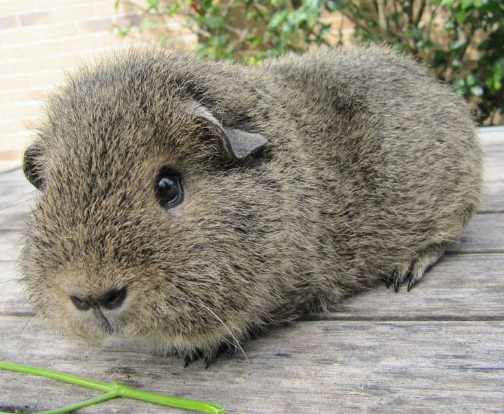 PURE BREED REX GUINEA PIG..that's right I have a fave breed of Guinean pig...don't judge!