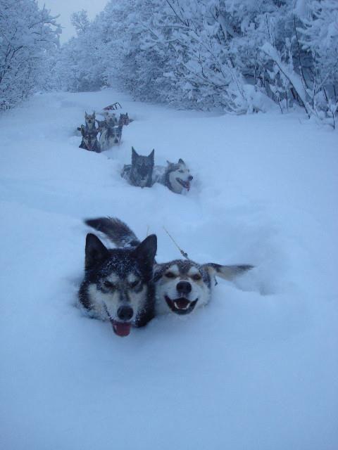 雪にまみれても元気、、、後ろでそりがひっくり返ってますけど、、、、
