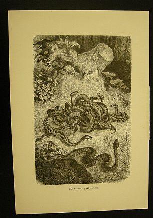 Muetzel G. - Jahrmargt K. - Marasso palustre. s.d. (ma 1900 ca.). Storia natule - Etologia - Animali - Rettili - Serpenti - Stampa - Scienza -  -
