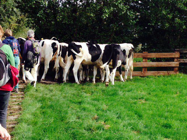 5 oktober Wandelen rond de Reeuwijkse plassen. We moeten langs die kudde koeien.Ze staan precies voor het hek.