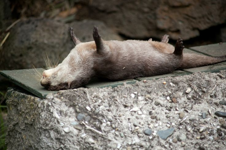 Maggie loves otters | Otter plays dead. taken by my awesome husband at...